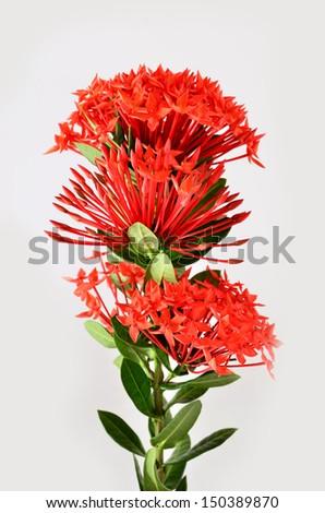 Red Ixora flower on white background - stock photo
