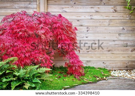 Red japanese maple tree against a wooden wall in a small garden - stock photo
