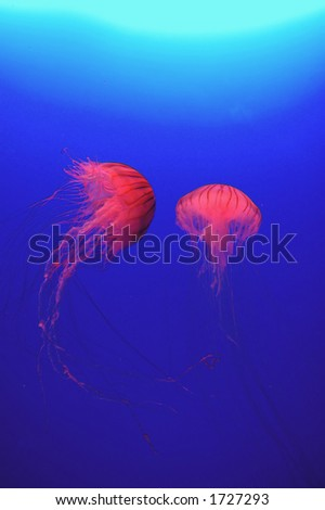 Red jellyfish against blue water background