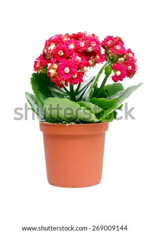Red kalanchoe flower in a plastic pot isolated on white background - stock photo