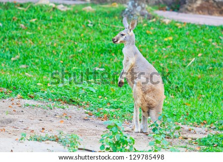 Red kangaroo and bennet's wallaby - stock photo