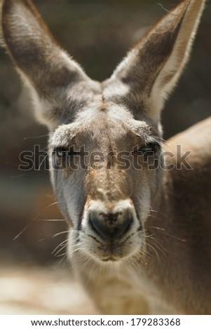 Red Kangaroo Closeup  - stock photo