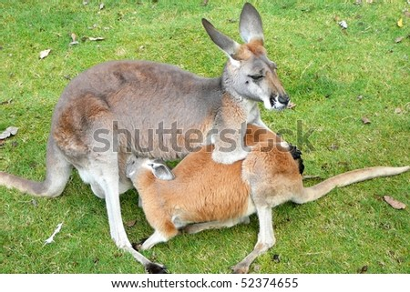 Red Kangaroo Doe Feeding Her Joey - stock photo