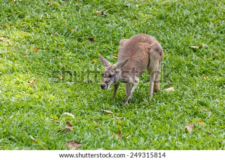 Red kangaroo in a green park. - stock photo