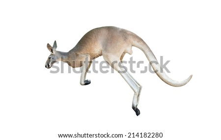 red kangaroo jumping isolated on white background - stock photo