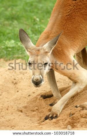 Red Kangaroo looking at camera. (Macropus rufus) - stock photo