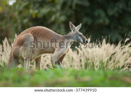 Red kangaroo(Macropus rufus)