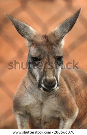 Red kangaroo (Macropus rufus) behind the cage. Wildlife animal.  - stock photo