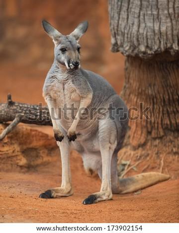 Red kangaroo (Macropus rufus) portrait - stock photo