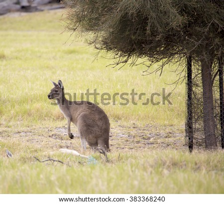 Red kangaroo (Macropus rufus)  the largest of all kangaroos, the largest terrestrial mammal native to Australia grazing in a green grassy paddock  on  cloudy morning  in autumn. - stock photo