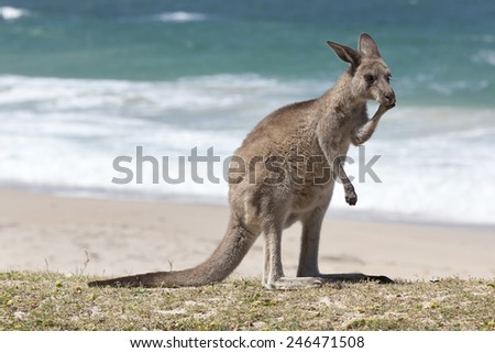 Red Kangaroo on the beach, Depot Beach,New South Wales, Australia - stock photo