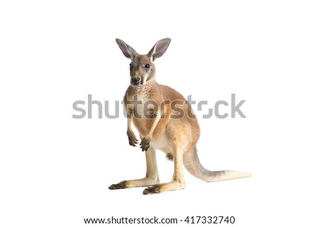 Red Kangaroo on White - stock photo
