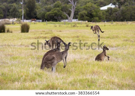 Red kangaroos (Macropus rufus)  the largest of all kangaroos, the largest terrestrial mammal native to Australia grazing in a green grassy paddock  on  cloudy morning  in autumn. - stock photo