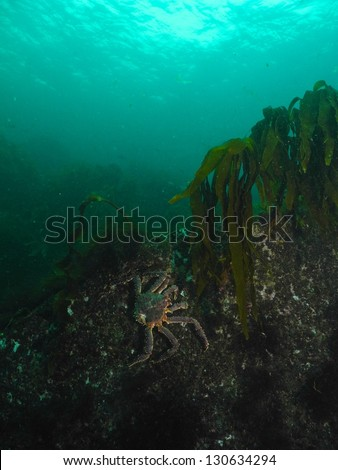 Red King Crab climbing on the rocks - stock photo