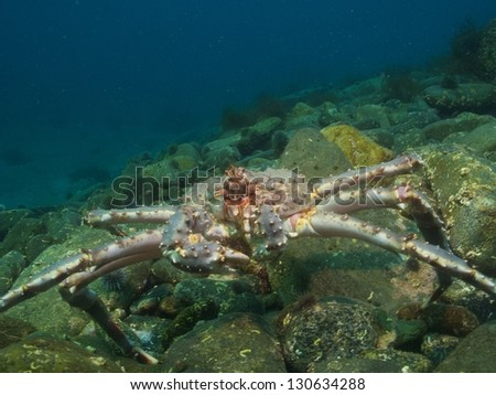 Red king crab over the stone boulders in the arctic ocean - stock photo