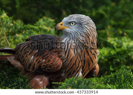 Red Kite close up profile. A close up shot showing the gorgeous detail in the plumage of this raptor. - stock photo