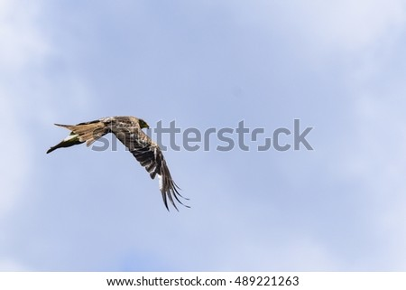 Red kite flight picture