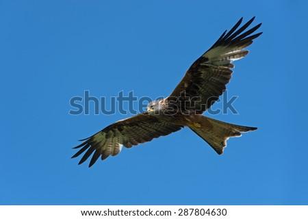 Red Kite flying through clear blue sky/Red Kite/Red Kite (Milvus Milvus) - stock photo