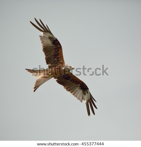 Red Kite in flight against a dull sky - stock photo