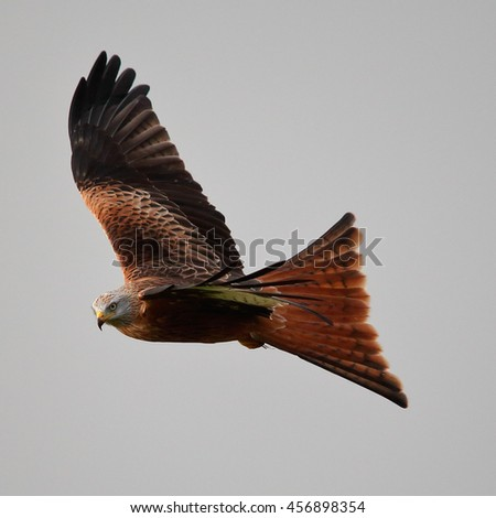 Red Kite in flight against a grey sky with it's tail wings fanned out - stock photo