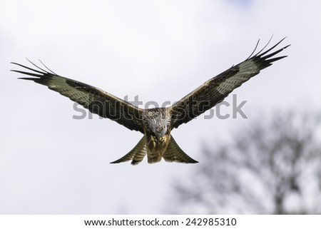 Red kite (Milvus milvus) feeding in flight ,Wales , UK - stock photo