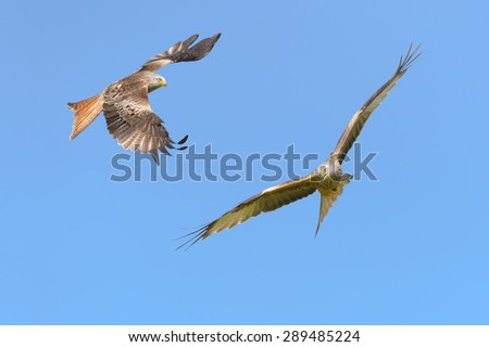Red Kites flying against a cloudless blue sky. - stock photo