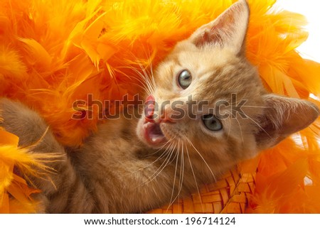 Red kitten in orange hat suporting the dutch soccer team - stock photo