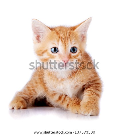 Red kitten. Kitten on a white background. Red striped kitten. Small predator.