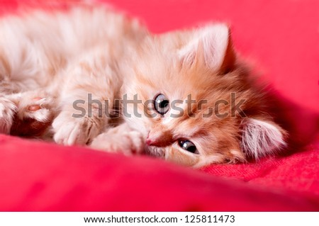 red kitten lays on a red bedspread and licking paw
