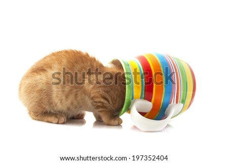 Red kitten looking in colorful flowerpot isolated over white - stock photo