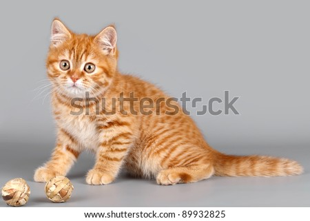 Red kitten on grey background