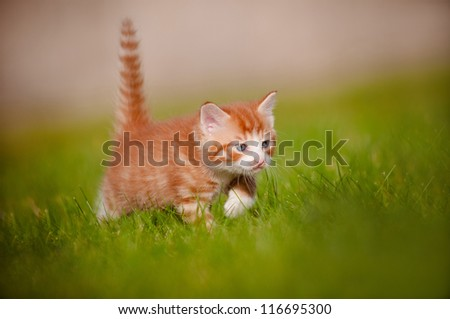 red kitten outdoors hunting - stock photo