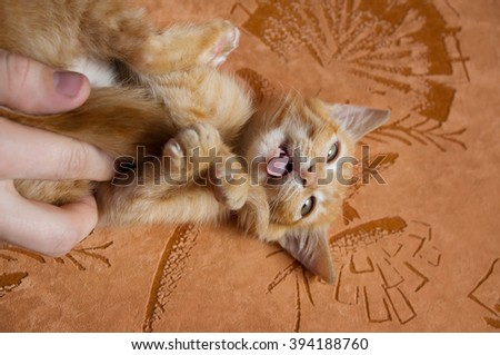Red kitten plays with the owner of the house