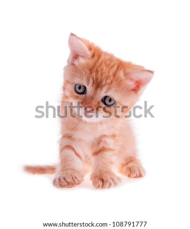red kitten sits and looks forward isolation