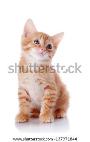 Red kitten. Sitting cat. Kitten on a white background. Red striped kitten. Small predator. - stock photo