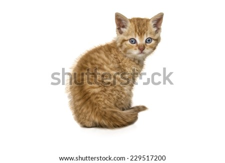 Red kitten sitting looking at camera