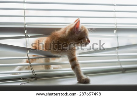 Red kitten tangled in window blinds - stock photo