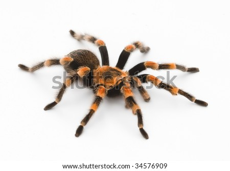 Red Knee Tarantula - bird eating spider - stock photo