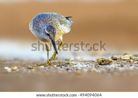 Red Knot on yellow sand background