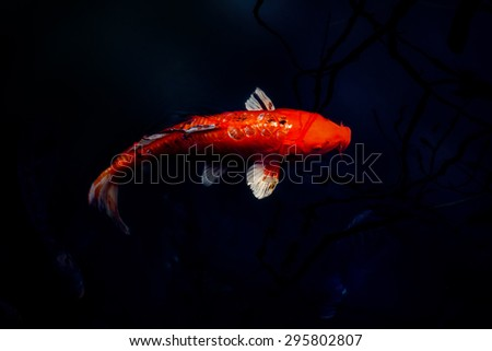 Red Koi carp, symbols of good luck and prosperity in Japan in the dark water.