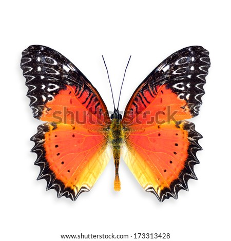 Red Lacewing Butterfly Upper Wings Profile in Natural Color, Colorful Butterfly