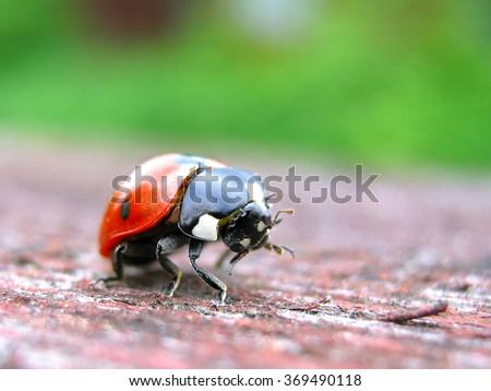 Red ladybird closeup on a wood - stock photo