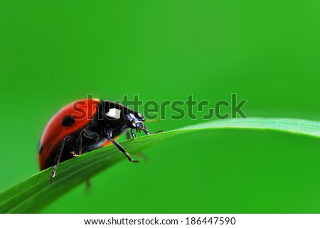 Red ladybird with seven black dots climbing along the blade of  green grass - stock photo