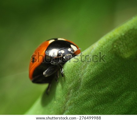 Red ladybug climbing on green leaf macro - stock photo