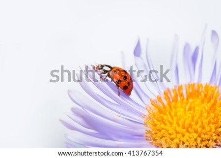 red ladybug on a camomile flower - stock photo