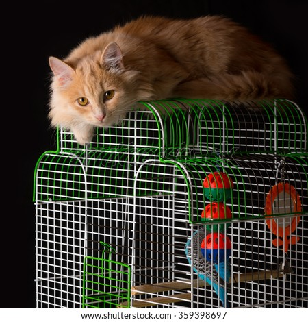 Red lazy cat lays on the cage for birds.