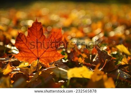 red leaf, autumn - stock photo
