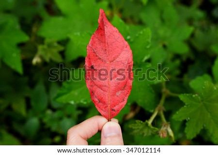 red leaf in hand on green leafs background