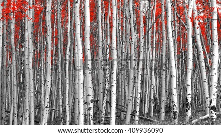 Red leaves in a black and white forest landscape - stock photo
