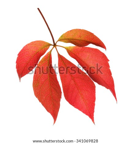 Red leaves isolated on white - stock photo